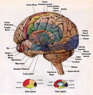 Cérebro, Estrutura  e Conexões Entre Neurônios