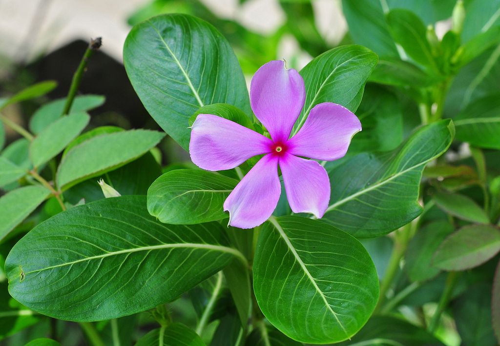 Manfaat tanaman tapak dara