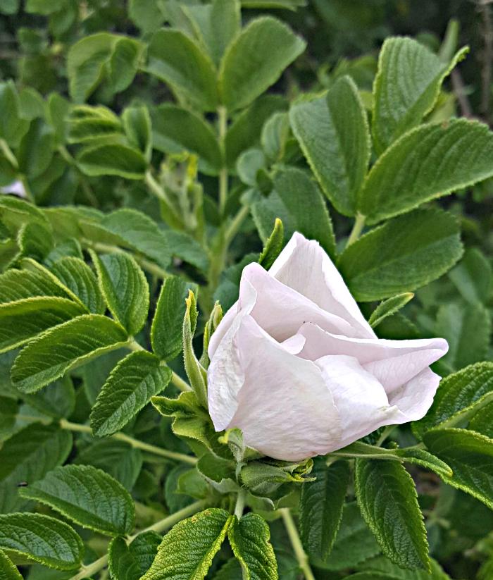 juhannusruusu - midsummerrose