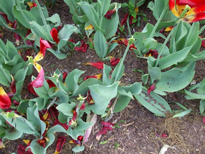 Blown over tulips