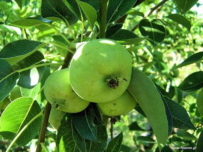 Αχλαδιά: σπορά φύτεμα καλλιέργεια