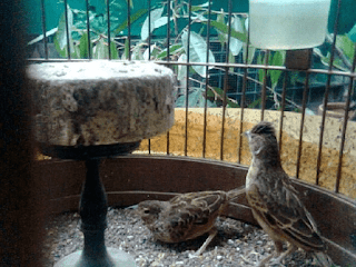 Burung Branjangan - Perbedaan Burung Branjangan Jantan dan Betina yang Berkualitas Untuk Ditangkarkan