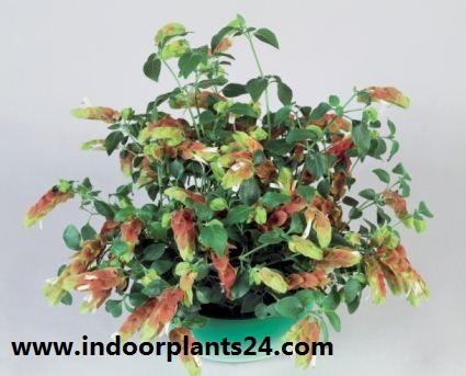 JUSTICLA brandegeana) Acanthaceae FHRIMP PLANT