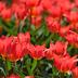 В Экопарке - парад тюльпанов