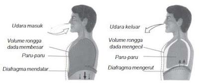 Pengertian serta Mekanisme Proses Pernapasan Dada dan Pernapsan Perut pada Manusia