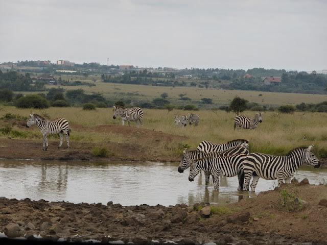 Nairobi National Park, cebras