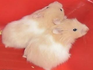 مشروع تربية الهامستر-كيفية تربية حيوان الهامستر
