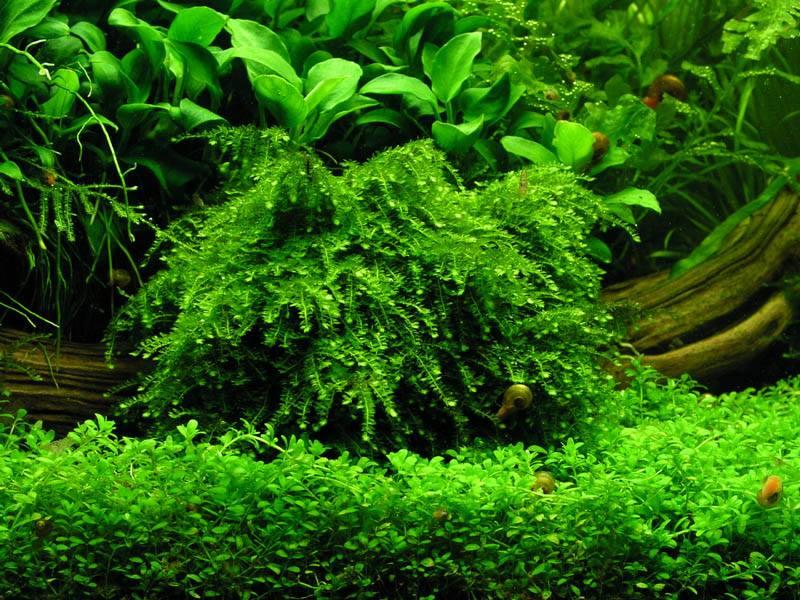 Vẻ đẹp tuyệt vời của rêu thủy sinh Weeping Sing