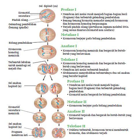 Fase-fase pembelahan meiosis