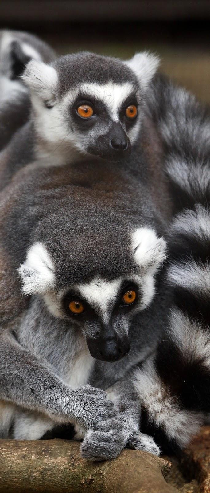 Cute lemurs cuddling.