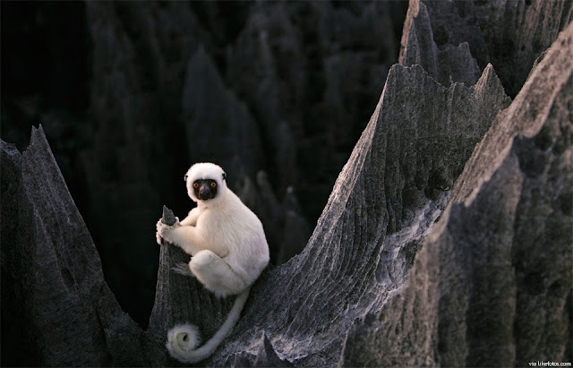 São mamíferos conhecidos por seus grandes olhos e por ter o corpo parecido com o dos macacos.