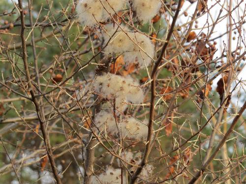 wild clematis seeds
