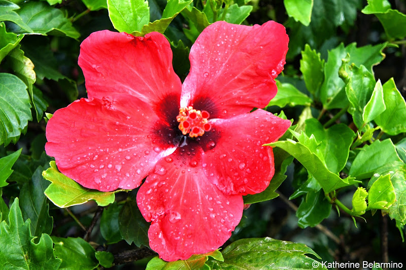 Marriott's Kauai Lagoons Red Hibiscus Hawaii