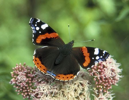 Vanessa (butterfly)   Facts About All