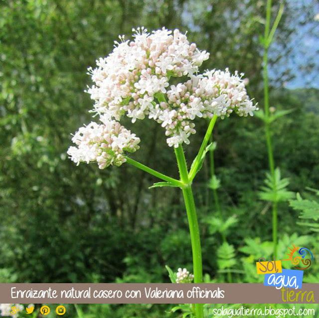 Como hacer un enraizante casero con Valeriana officinalis