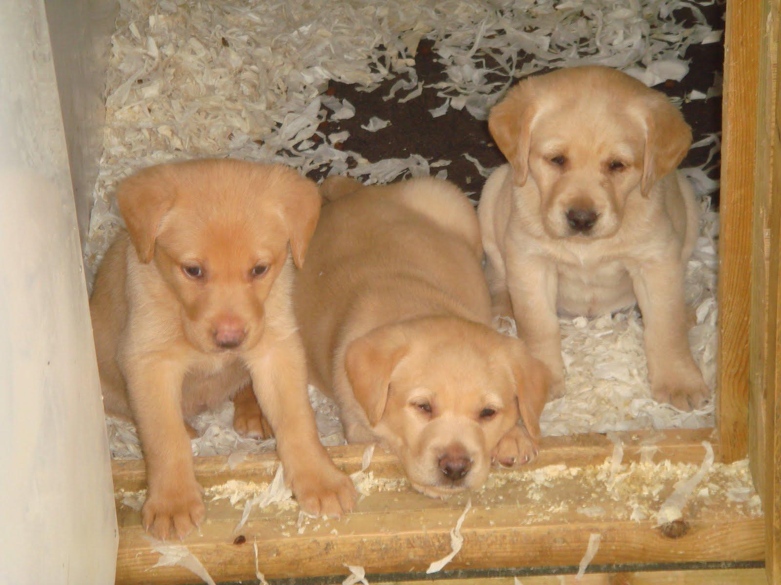 Cuckavalda Gundogs : North Yorkshire: Fox red Labrador puppies doing