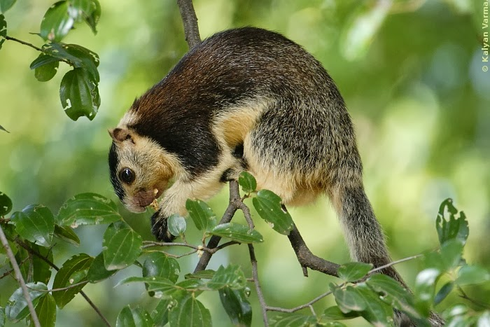 Grizzled Giant Squirrel – Civilsdaily