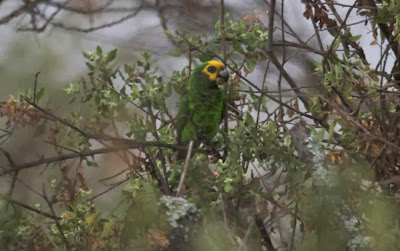 Yellow fronted parrot