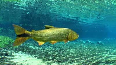 Habitat dan karakteristik ikan golden dorado