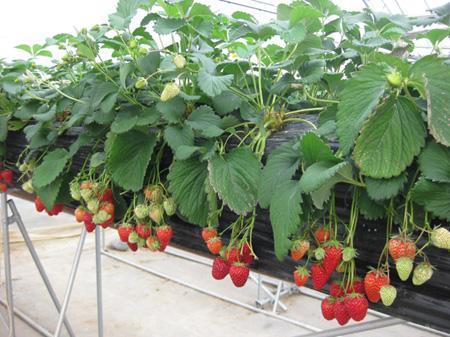 Tuyển 9 nữ lao động làm công việc trồng dâu tại Aichi Nhật Bản