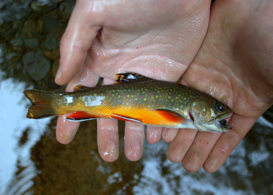 Brilliantly colored brook trout from the Great Smoky Mountains National Park