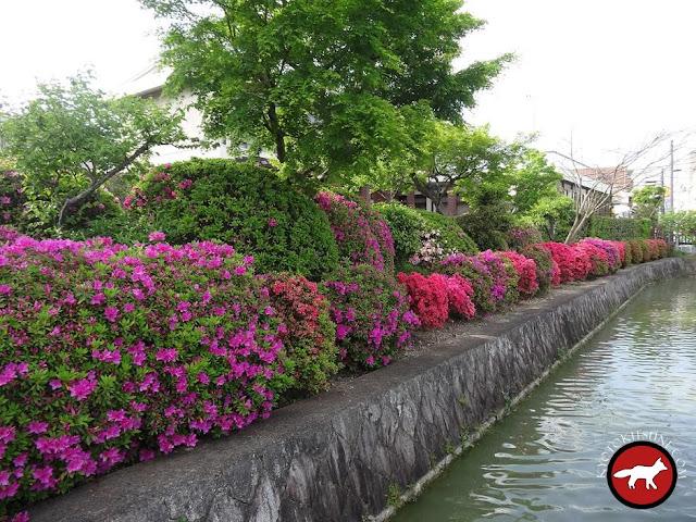 Azalées le long du lac de Nagaoka