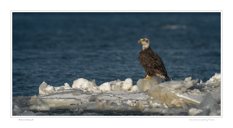 Eagle floating on ice