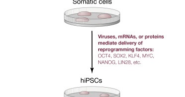 engineering stem cells using genome editing technology A powerful genome editing technology known as crispr has been  'crispr' science: newer genome editing tool shows.