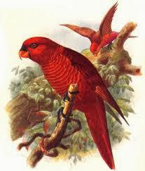 Lori cardenal: Chalcopsitta cardinalis