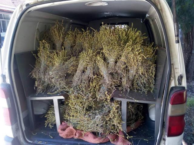Τρία άτομα είχαν μαζέψει 60 κιλά τσάι του βουνού