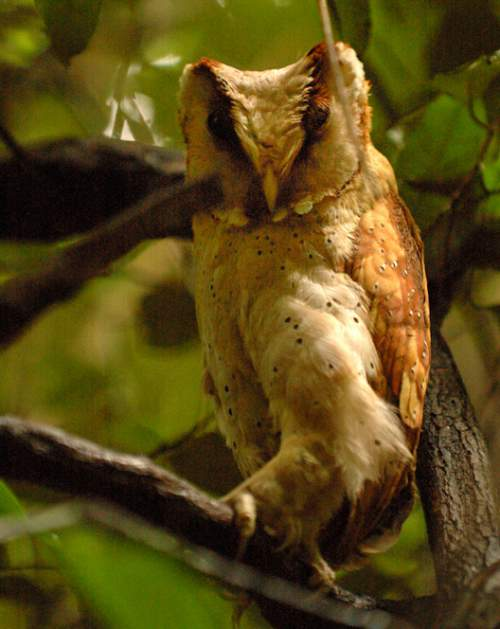 Indian birds - Oriental bay owl - Phodilus badius
