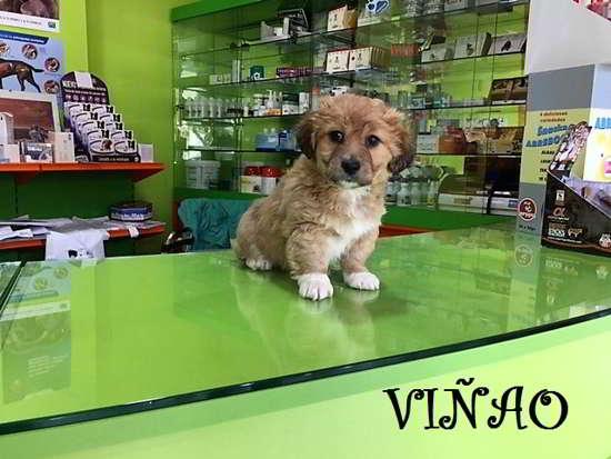 cachorros de tamaño miniatura 2