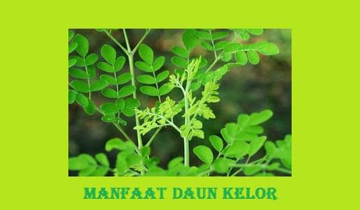 Baiknya manfaat daun kelor bagi kesehatan manusia