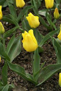 Tulipes Greigii - Tulipa Gold west - Tulipe Gold west - Tulipe Greigii Gold west - Tulipe de Greig