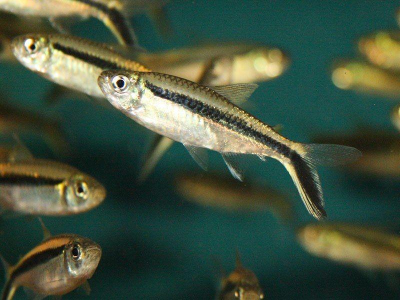 63. Jenis Ikan Hias Aquascape Blackline Penguin