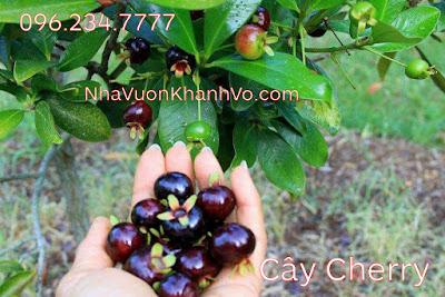 Sản phẩm cần bán: Bạn chưa biết: công dụng của cherry đối với sức khỏe Cay-cherry-khanh-vo-6