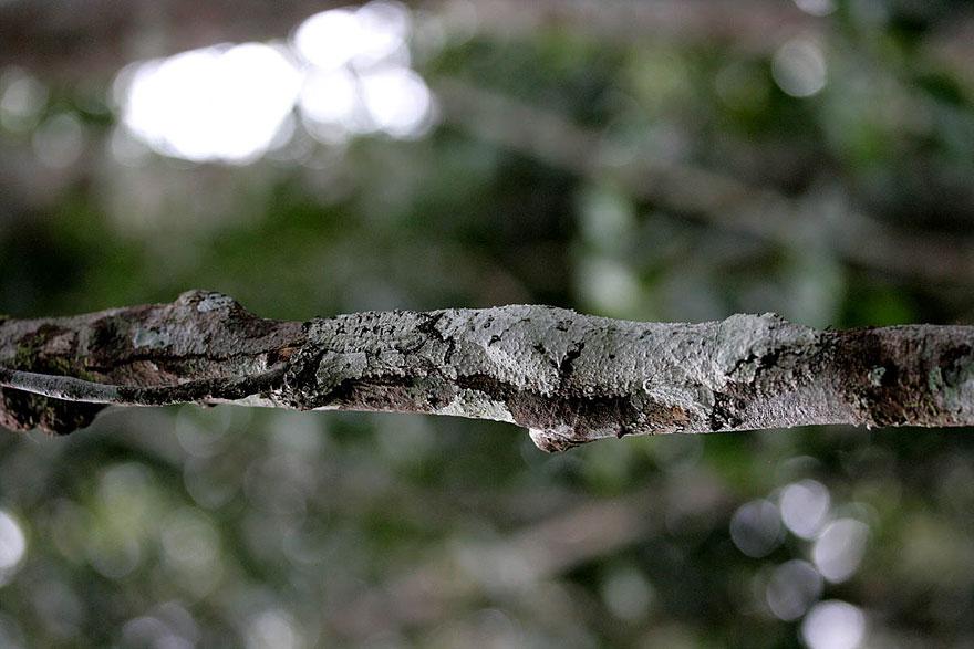 Uroplatus Geckos-1