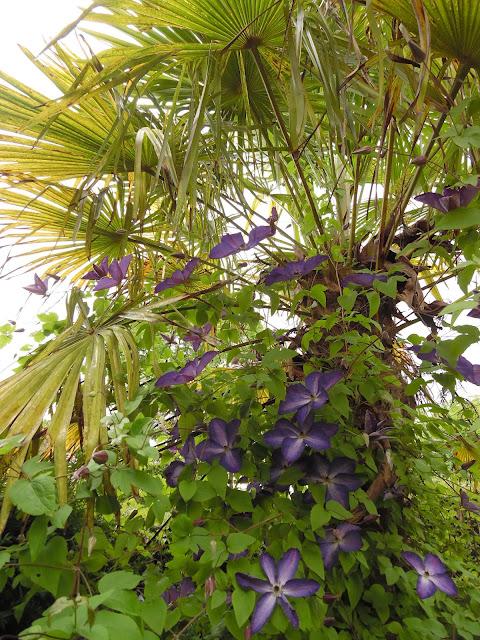 powojnik na palmie, pnącze