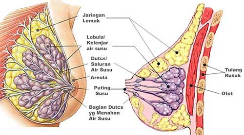 pengencang payudara, obat pengencang payudara, herbal oris breast, oris pengencang payudara,