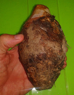 wild edible taro root