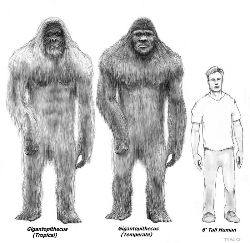 Gigantopithecus blacki tamaño