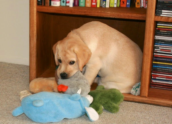 8 week old Labrador puppy toys