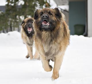 Small Dog Rescue Alberta