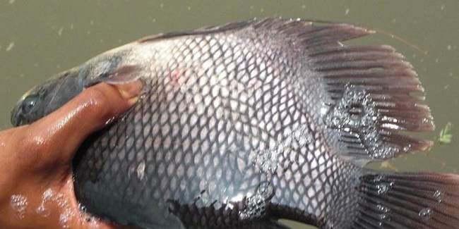 Fakta Unik ! ini Dia 7 Alasan Kenapa Anda Harus Budidaya Ikan Gurame