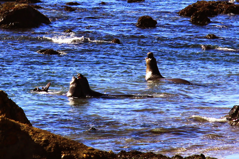 Piedras Blancas Elephant Seal Rookery California Coastal Drive Through Big Sur