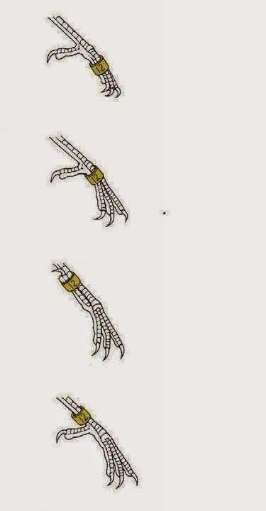 تزاوج الحسون,  فراخ الحسون ,  إنتاج الحسون , طائر الحسون,  الحسون