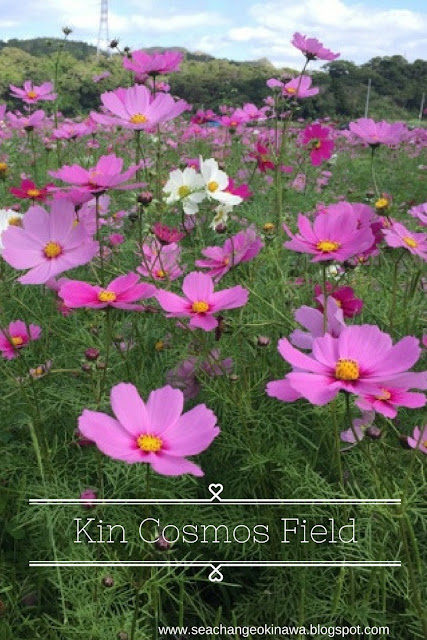 The cosmos fields in Kin Town, Okinawa are a must see if you happen to be in Okinawa when they are in bloom. You will be greeted by a sea of pink and white flowers. It's the perfect photo spot.