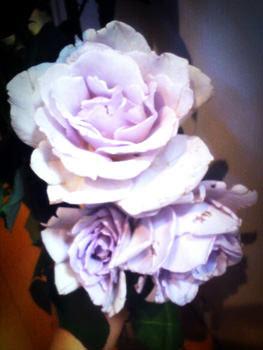 バイオレットの薔薇