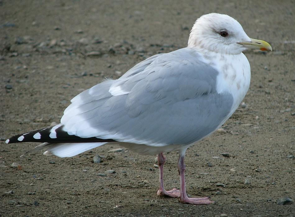 Thayer's Gull | John Rakestraw |Thayers Gull