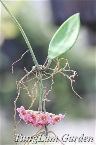 hoa cẩm cù, cách trồng hoa cẩm cù, hoa cẩm cù bán ở đâu, hoa cẩm cù mua ở đâu, hoa cẩm cù mới, lan cẩm cù, nhân giống hoa cẩm cù, cẩm cù hoya davidcummingii, cẩm cù hoa hồng